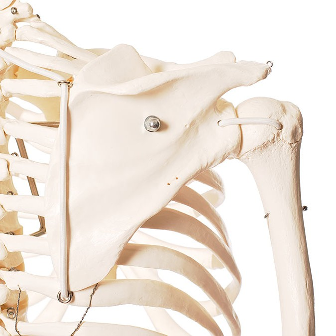 Upper Limbs OneShoulder Complex (Brisbane) - Body Organics