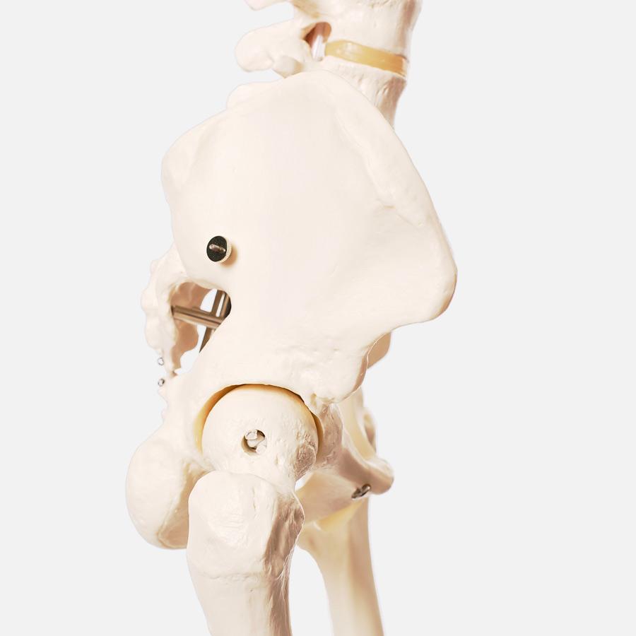 pelvis femur hip