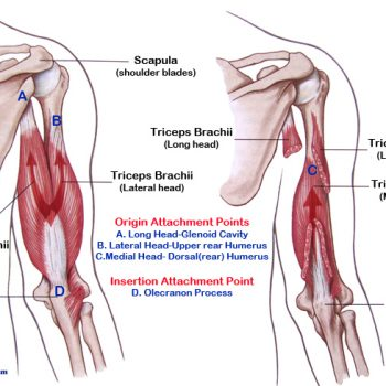Tricep muscles
