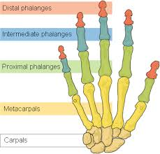 bones of the hand for wrist exercises