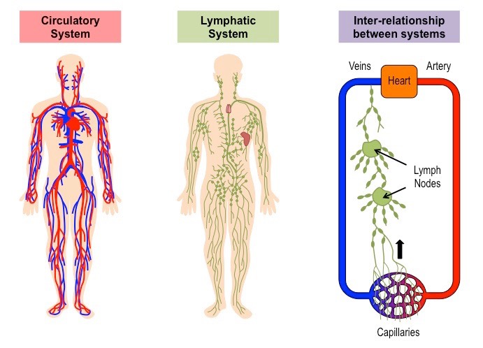 Lymphatic and circulatory systems