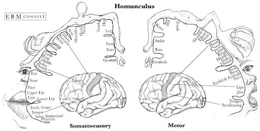 sensory motor homonculus